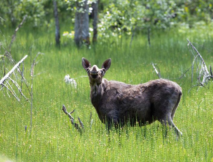 Põder Moose Elk Alce
