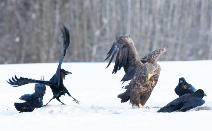 White Tailed Eagle Merikotkas