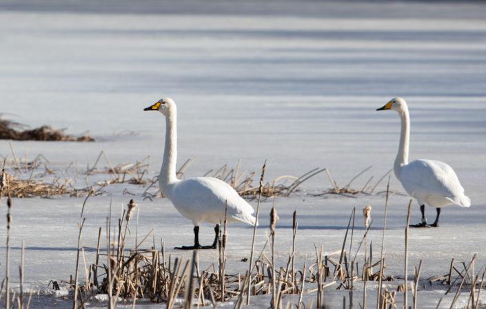 Laululuik Whooper Swan