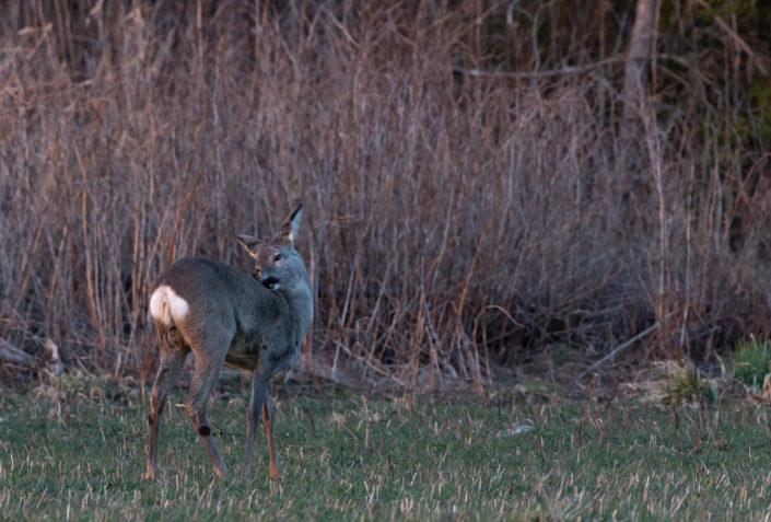 Roe Deer Metskits