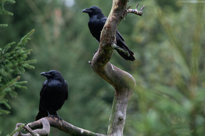 Ravens birds Estonia bird watching rongad Eesti