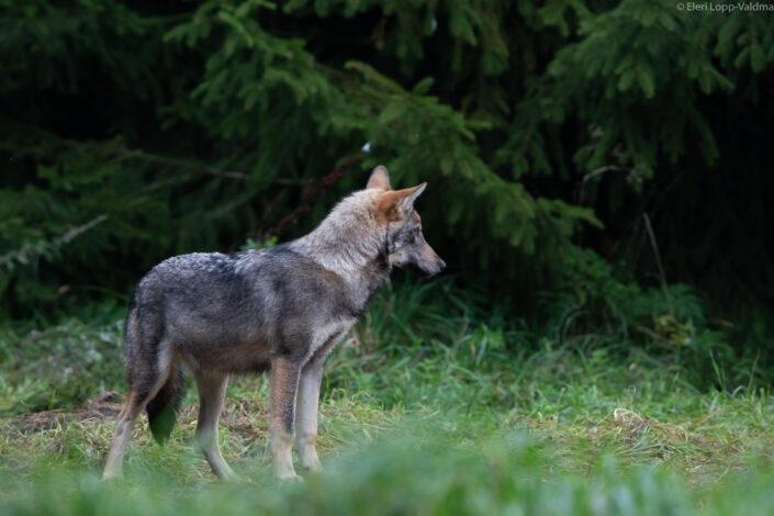 Hunt hundikutsikas hundivaatlus wolf wolf cub wolfwatching Estonia Eesti