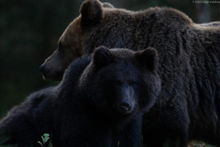 Brown Bear cubs with mother Brown Bear watching in Estonia karuvaatlus Eesti karuema