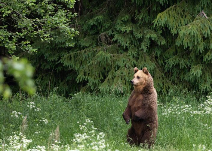 Brown Bear watching in Estonia karuvaatlus Eesti karuema