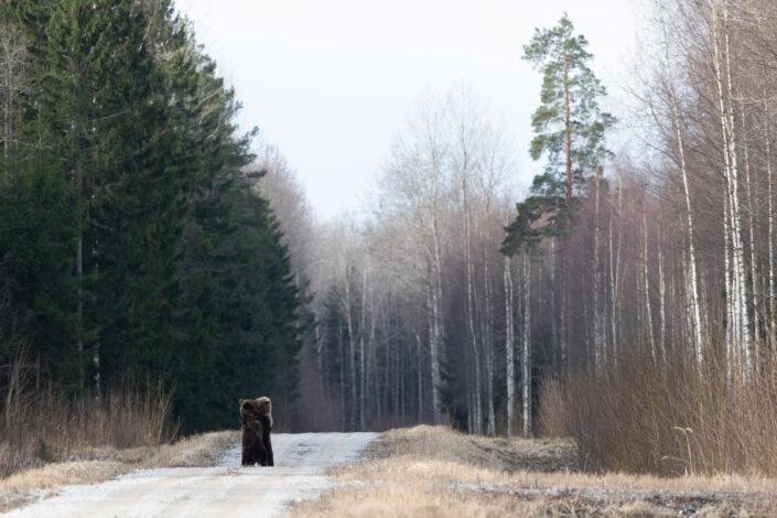 Pruunkaru karu Brown Bear bear watching in estonia karuvaatlus