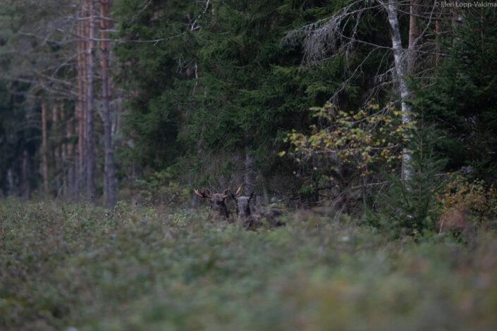 Moose elk cow moose bull põder pull lehm jooksuaeg