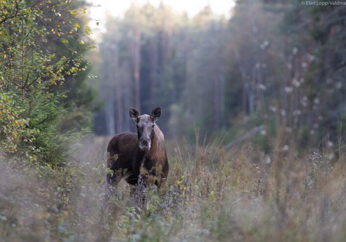 Moose Põder Alces Alces