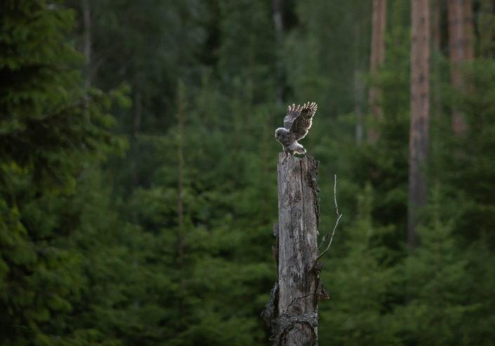 Händkaku poeg Ural Owl