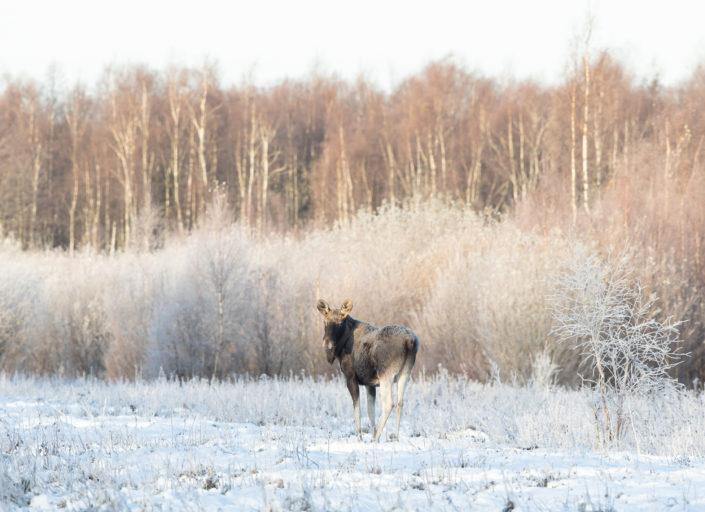 Põder Moose Elk