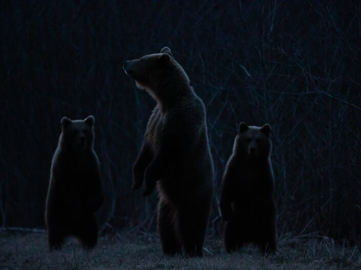 Brown Bear cubs with mother Brown Bear watching in Estonia karuvaatlus Eesti karuema