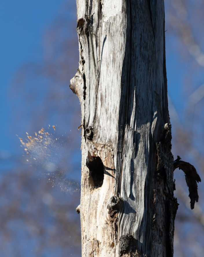 Musträhn Black Woodpecker