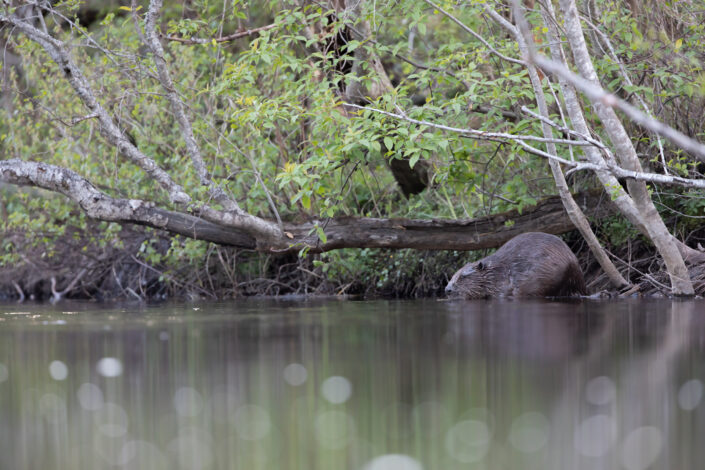Beaver Estonia kobras beawer watching kopravaatlus