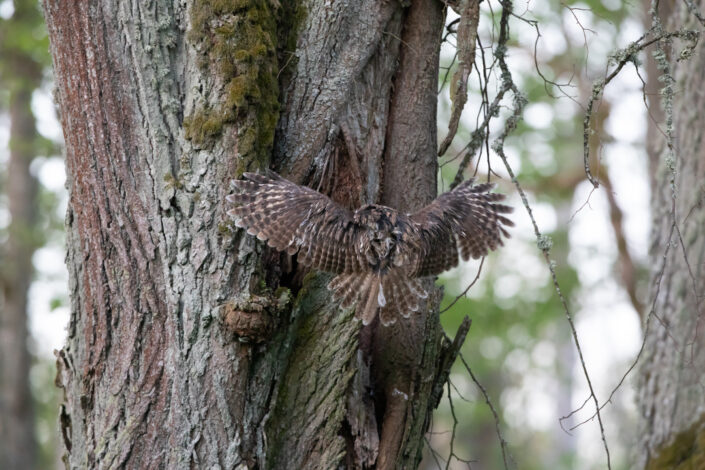 Tawny owl kodukakk Eesti kakud Estonia owls