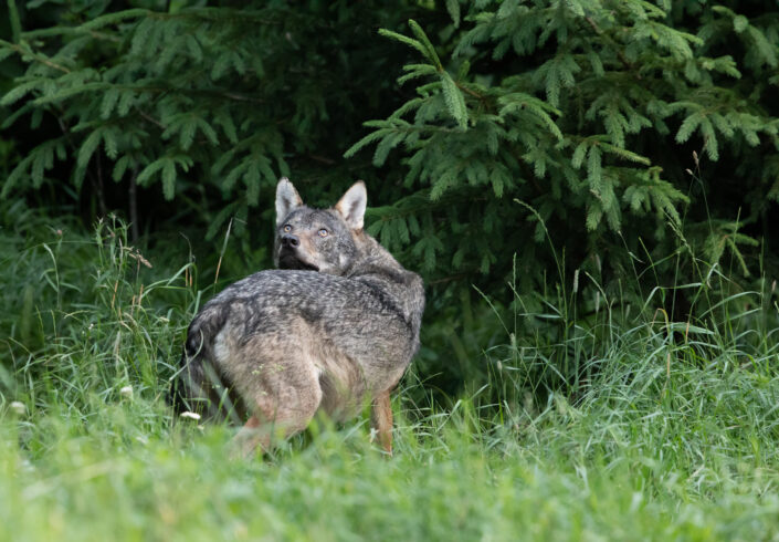 Wolf wolf watching photography hunt Eesti hundivaatlus