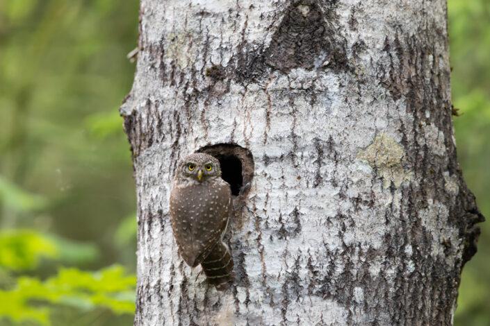 Värbkakk Pygmy owl eesti kakud estonia owls