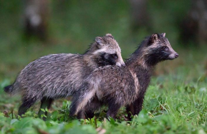 Kähriku pojad, raccoon dog cubs