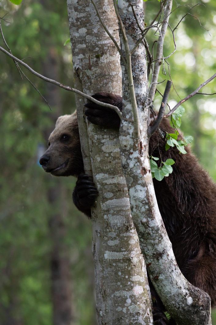 Brown Bear karu puu otsas