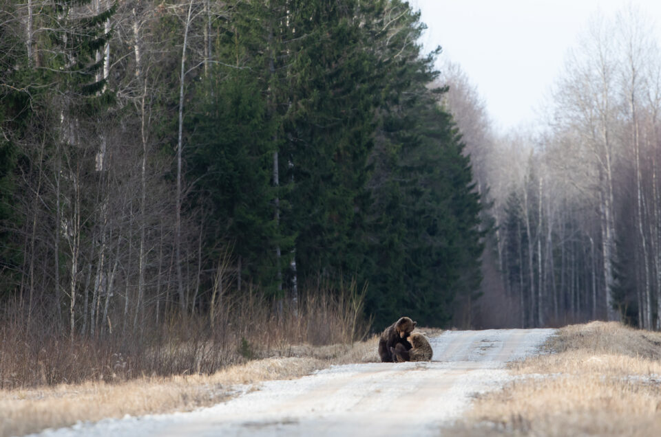 Brown bears mating in Estonia